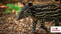 Вбельгийском зоопарке показали новорожденного тапира (видео)