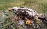 Гигантский орел атаковал беспилотник (видео)