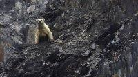 Более 50 исхудавших белых медведей окружили село наЧукотке