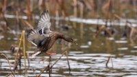 Птица несчастья: атаковавший Европу грипп опасен дляРоссии