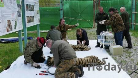 Полиция Приамурья нашла подозреваемых в убийстве краснокнижного тигра - 29.09.2020
