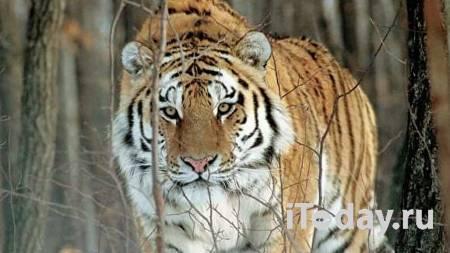 Амурские тигры напали на лошадь и собаку в Хабаровском крае - 26.11.2020
