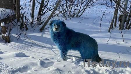 На Ямале хаски покусала семерых детей - 16.02.2021