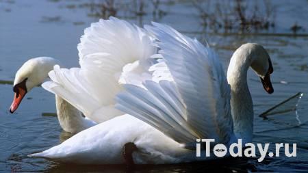 В Калининградской области спасли лебедей, попавших в нефтяное пятно - 20.02.2021