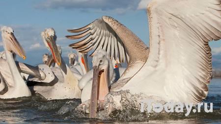 Россельхознадзор назвал причину гибели кудрявых пеликанов в Дагестане - 08.04.2021