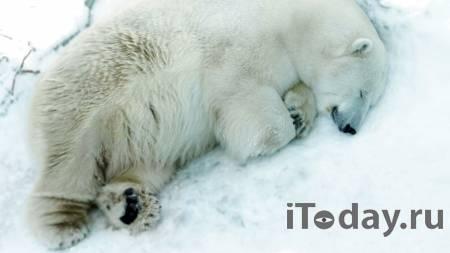 В уральском зоопарке белый медведь умер из-за брошенной в вольер игрушки - 20.04.2021