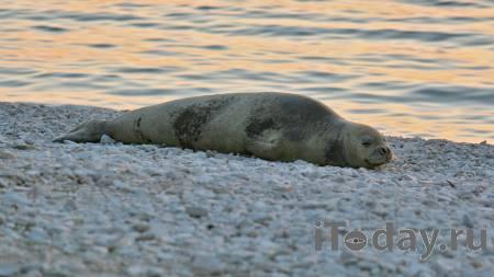 Минприроды объяснило гибель десятков тюленей в Каспийском море - 07.05.2021