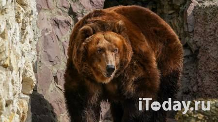 В Мытищах ищут медведя, сбежавшего из частного гольф-клуба - 08.06.2021