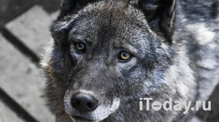 "Сценарист ""Бешенства"" рассказал о побеге волков в тайгу на съемках - 27.07.2021"