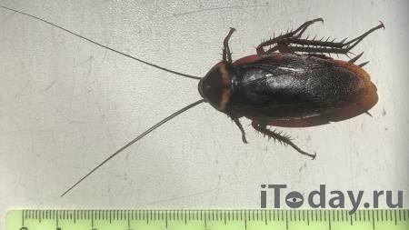 Ученый рассказал, откуда был завезен таракан, поразивший жительницу Кубани - 04.08.2021