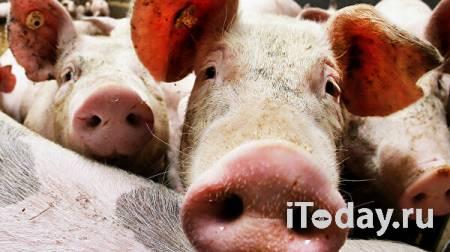 """В холдинге """"Мираторг"""" под Белгородом выявили африканскую чуму свиней - 27.09.2021"""