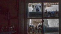 На Новой Земле произошло нашествие белых медведей: фото
